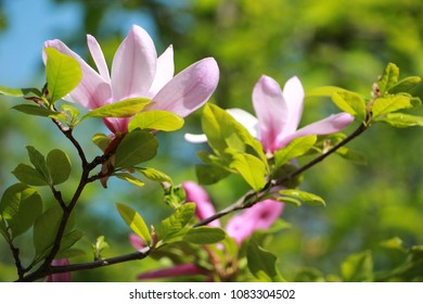 Blooming of pink magnolia in th garden