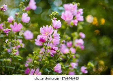 Blooming pink mallow flowers (Malva alcea, cut-leaved mallow, vervain mallow or hollyhock mallow) in summer garden - Shutterstock ID 1769446985
