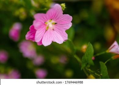 Blooming pink mallow flowers (Malva alcea, cut-leaved mallow, vervain mallow or hollyhock mallow) in summer garden - Shutterstock ID 1769446988