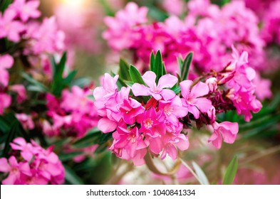 Blooming pink oleander flowers or nerium in garden. Selective focus. Copy space. Blossom spring, exotic summer, sunny woman day concept