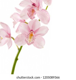 blooming pink orchid flowers