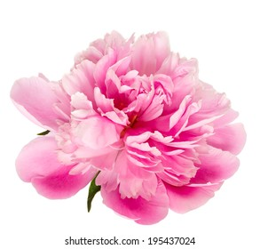 Blooming pink peony isolated on white background.