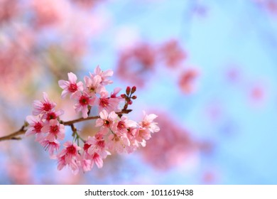 Blooming pink Prunus cerasoides flowers on blue sky at Khao Kho, Phetchabun, Thailand. Like blooming pink sakura flowers. Have copy space for put text.