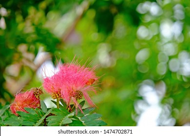 Blooming Pink red powder puff flower (Red head powder puff, Red powder puff) with blurred bokeh green background.