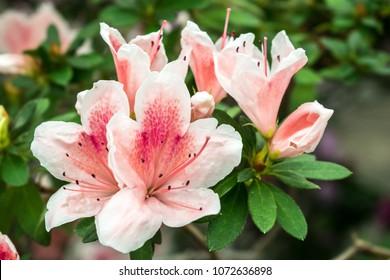 Blooming pink Rhododendron (Azalea) close-up. Beautyful pink azalea flower. Tender spring flower close up
