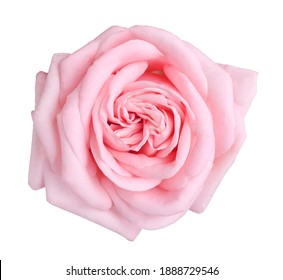 Blooming pink rose isolated on white. Beautiful flower