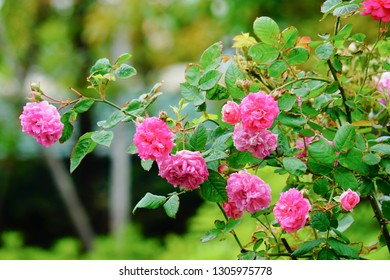 Blooming pink roses flowers in the green natural garden during spring time season