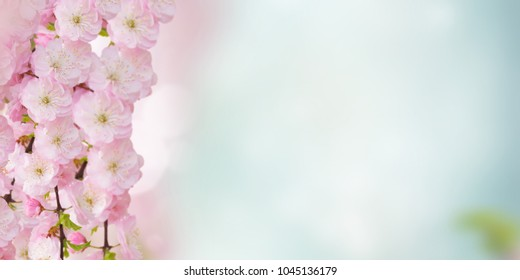 Blooming pink sacura cherry tree flowers against blue sky background banner
