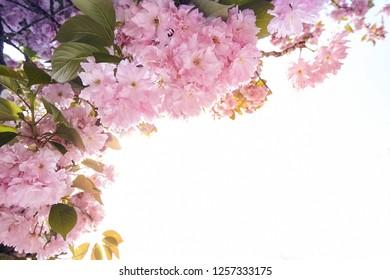 Blooming pink sacura tree in spring