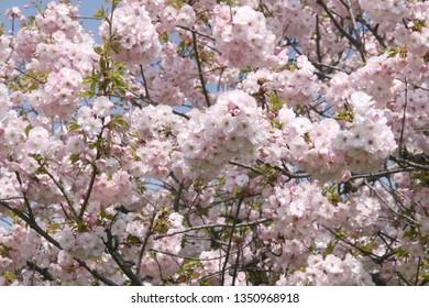 Blooming pink sacura tree in spring. Cherry blossom. Sacura cherry-tree. Sacura flowers on blue sky. Sakura Festival