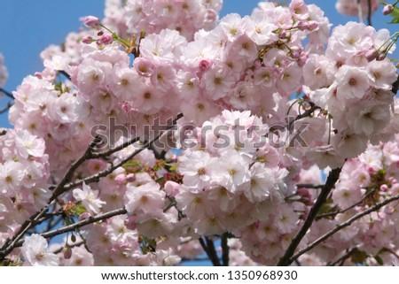 blooming-pink-sacura-tree-spring-450w-13