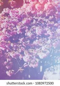 Blooming pink sacura trees in botanical gaden in spring