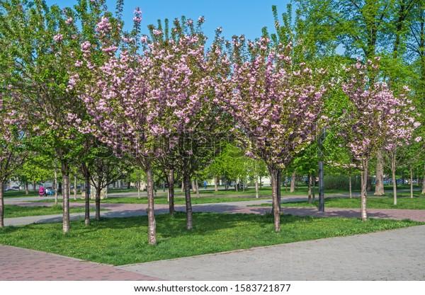 blooming-pink-sakura-flowers-city-600w-1