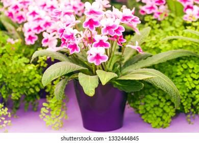 Blooming pink streptocarpus in a pot