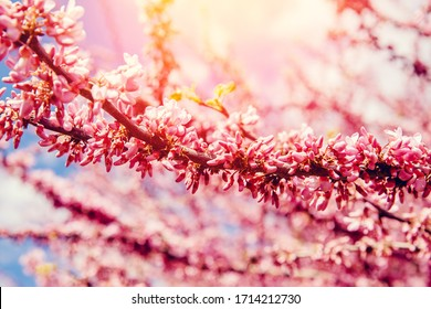 Blooming pink trees against background of sunlight and blue sky. Spring texture concept.