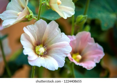 Blooming pink white Mallow Silvestris or Malva alcea branch, hollyhock in summer garden close-up. Pollen on bud walls with pistil and stamen. Beautiful flower during flowering.