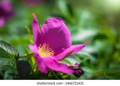 Blooming pink wild rose spring day close-up on a blurred background.