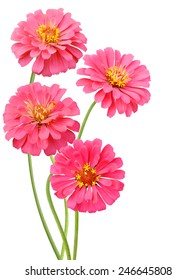 Blooming pink zinnias isolated on white background