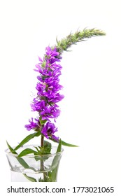 Blooming plant - Lythrum salicaria purple loosestrife on white background