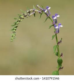 Blooming plant of Showy Skullcap with white purple flowers. Scutellaria serrata