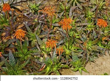 Blooming plants of Aloe variegate in habitat