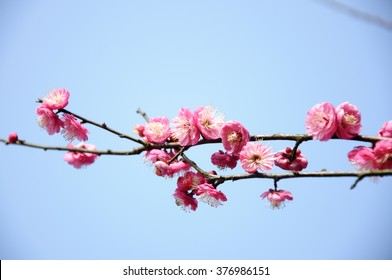 Blooming plum flower in garden