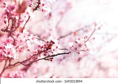 Blooming plum garden  Natural  spring background.