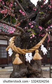 A blooming plum tree bound with shimenawa, sacred rice straw rope used for purification and protection from evil in Japanese traditional religion Shinto
