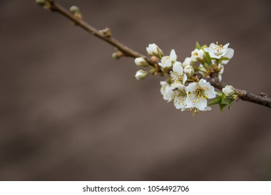 Blooming plum tree branch covered with beautiful white small flowers in early spring. Copy space available. Woman day concept.
