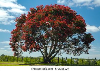 Blooming pohutukawa tree, New Zealand