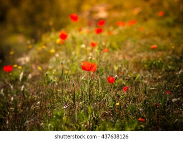 blooming poppies in the field at sunset