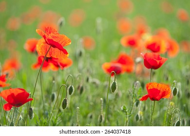 blooming poppies in a green field