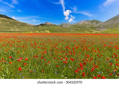 Blooming poppies and lentils at Piano Grande, Castelluccio, Italy