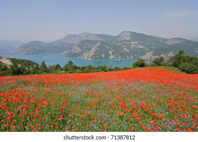 Blooming poppies near Gap, France