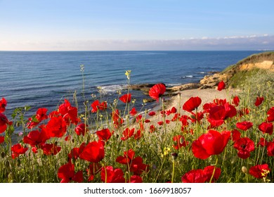 Blooming poppies on the seashore. Perspective of red flowers on the background of the sea bay on a sunny May morning. Black Sea coast of Bulgaria.