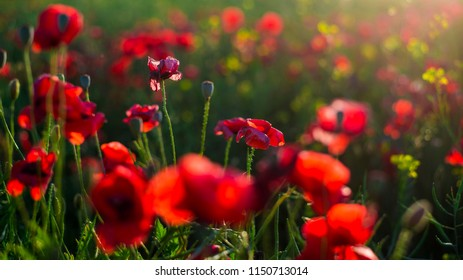 Blooming poppy field close-up, Latvia