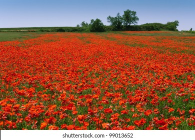 Blooming poppy field near Bezieres, Languedoc-Roussillon, France