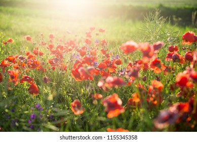Blooming poppy field on a sunny summer day, close-up, Latvia