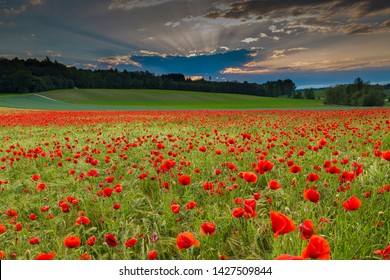 Blooming poppy field (Papaver rhoeas) at sunset