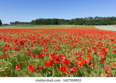 Blooming poppy field (Papaver rhoeas) in a meadow