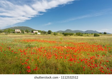Blooming poppy field in Southern France, Europe