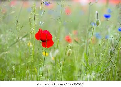 Blooming poppy (Papaver rhoeas) in a meadow