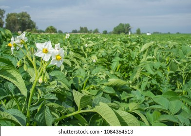 Blooming potato field with white flowers detail. Guadiana Meadows, Extremadura