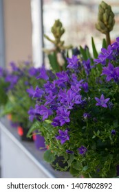 Blooming potted Campanula muralis flowers on a shelf in a flower shop, campanula americana blossom, or violet bellflowers for garden and decoration, floral background