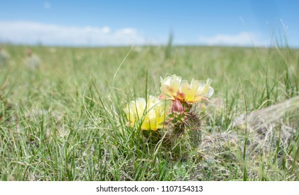 Blooming Prickly Pear Cactus with Grasslands and Sky, Horizon in the distance