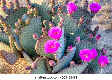 Blooming Prickly Pear cactus in Sonoran Desert.