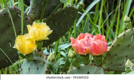 Blooming prickly pear cactus. Yellow and red delicate flowers among the sharp needles.