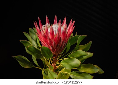 Blooming protea flower with a core close up