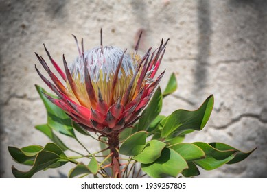 Blooming protea flower under drops of artificial rain