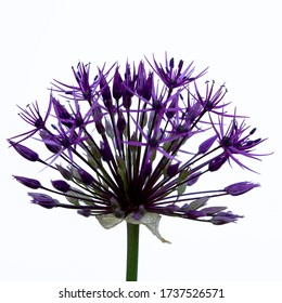 Blooming purple allium christophii on a white background